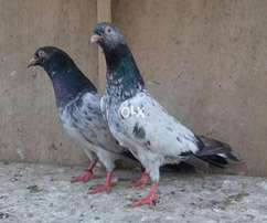 Imamden breed pair for sale