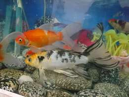 japness koi Fish family.. 5 to 8 inch fish