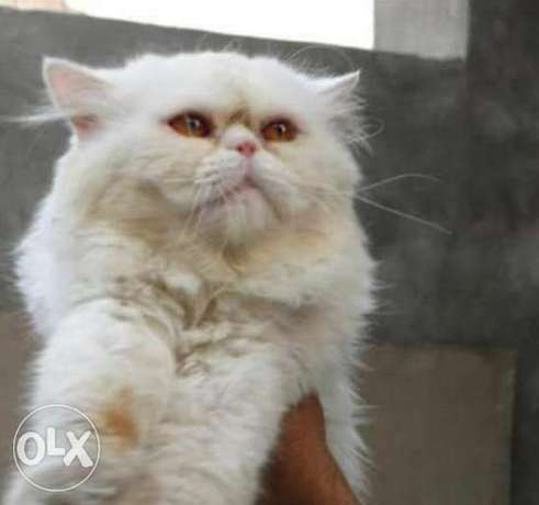 Persian piki punched face male available for matting