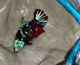 Ikan Di Bojongmangu Olx Murah Dengan Harga Terbaik Olx Co Id
