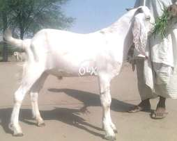 Beautiful bakra for eid