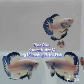 Cupang Blue Rim Jual Hewan Peliharaan Ikan Terlengkap Di Bandung Kab Olx Co Id