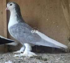 Lahore sharze bredr male for sale