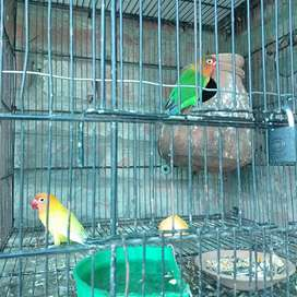 Bards Animals For Sale In Lahore Olx Com Pk