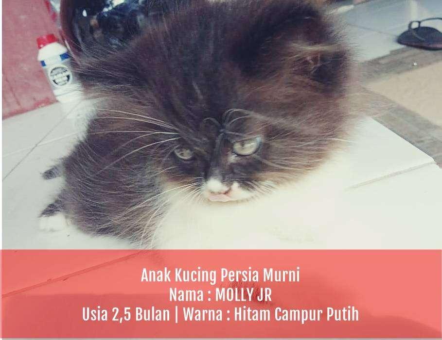 Kucing Persia Bekasi Jual Hewan Peliharaan Kucing Terlengkap Di Indonesia Olx Co Id