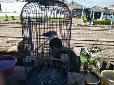 Burung Love Bird - Biru Mangsi (Birmang)