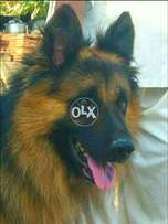 German double coat male for stud...