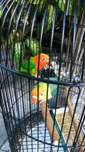 lovebird spasang pb biox biola green labet love bird umursiapan kawin