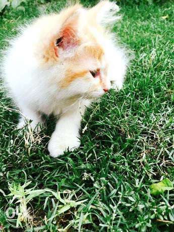 Brown White Tripple Layer Coated Persian Kitten At Cheap Rate
