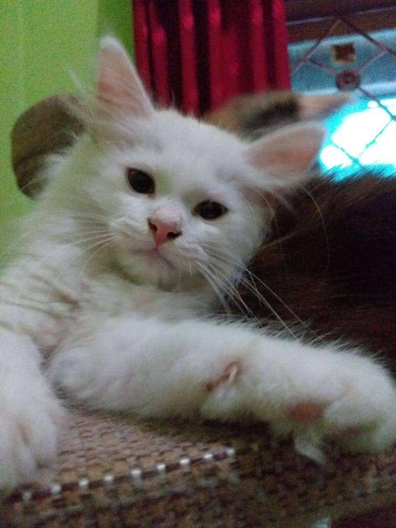 Lepas Adopsi Kucing Ras Persia Medium Umur 3 Bulan Jantan Hewan