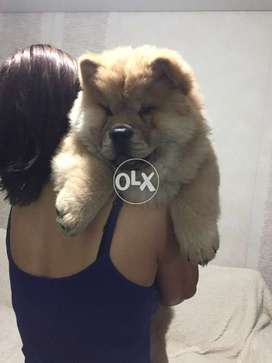 Puppy Dogs In Punjab Olx Com Pk