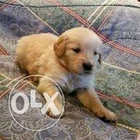 Golden Retriever View All Ads Available In The Philippines Olx Ph