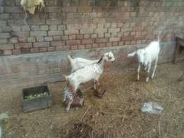 Goat for sale with 2male baby