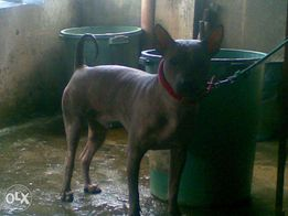 Mexican Hairless View All Ads Available In The Philippines Olx Ph