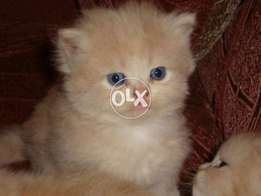 different Persian kittens for sale in lahore