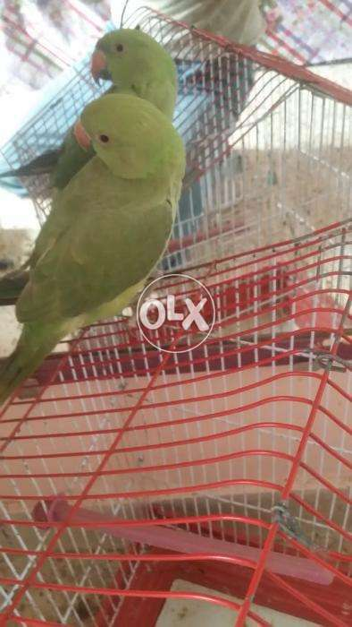 green ring nick male chip rate with cage full active or entertainment