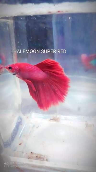 Jual Ikan Cupang Halfmoon Super Red Hewan Peliharaan 805430428