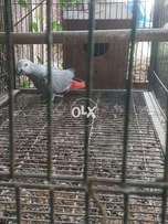 gray african for sale only male with D.N.S report