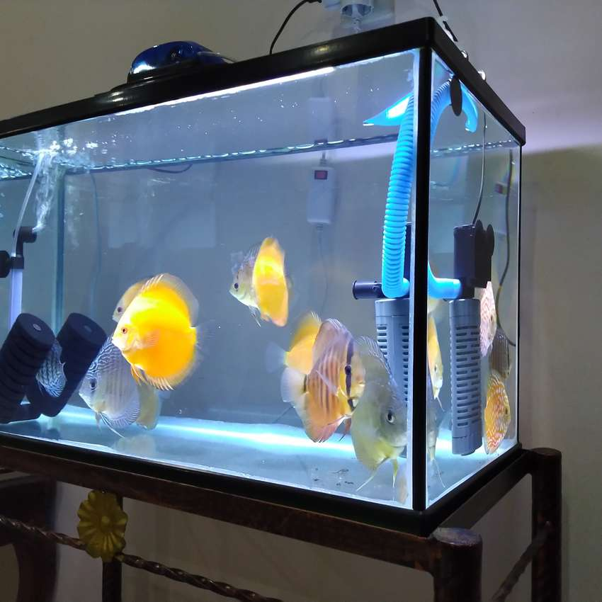 Jual Ikan Discuss Borongan Termasuk Full Set Aquarium Tank