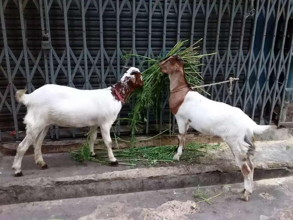Teddy Goat - Animals for sale in Karachi | OLX com pk