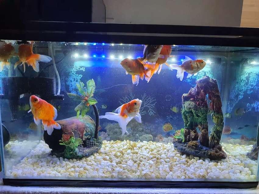 Jual Ikan Mas Koki 10 Ekor Hewan Peliharaan 792926047