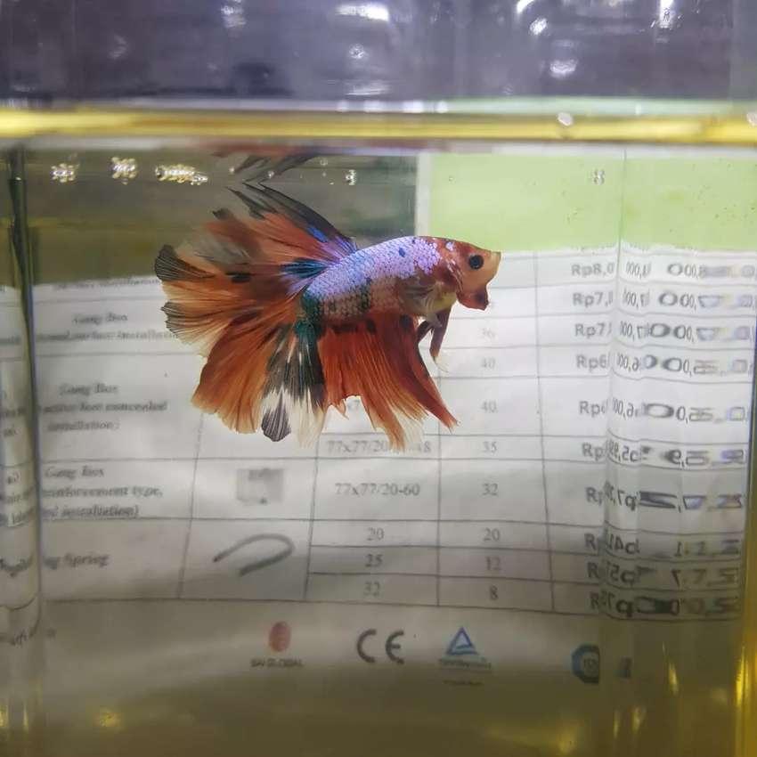 Ikan Cupang Nemo Candy Hewan Peliharaan 807627592