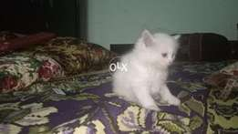 Pure persian kitten available