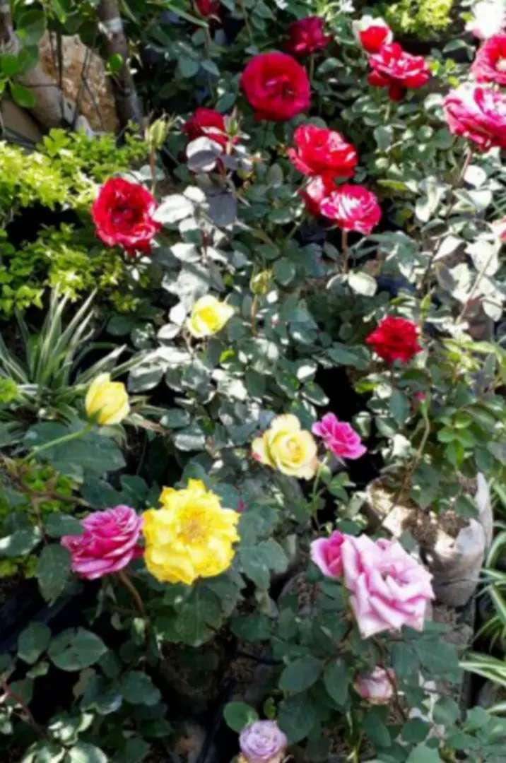 Jual Pohon Hias Bunga Mawar Indah Konstruksi Dan Taman 754123713