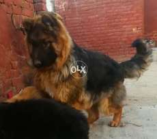 Young Extreem Big Siz, No Comparison this Puppy 11 Month imported Male