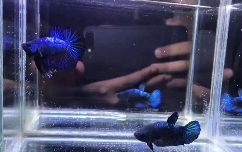 Ikan Cupang Betta Bbl Avatar Bonsai Sepasang Pair Real Pic Hewan Peliharaan 797025908