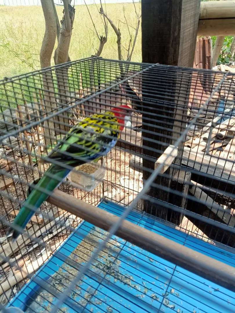 Burung Rosela Rosella Eastern Parkit Australia Hewan Peliharaan 800495339