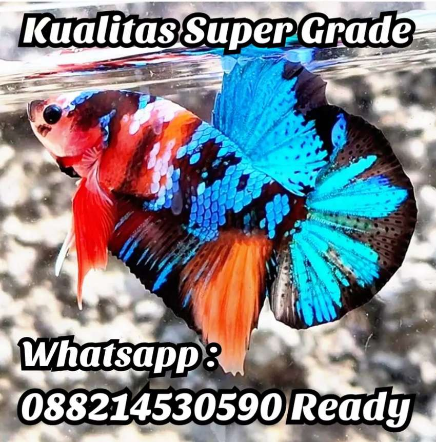 Ikan Cupang Hias Plakat Galaxy Multi Koi Avatar Fancy Giant Nemo Candy Hewan Peliharaan 804920820