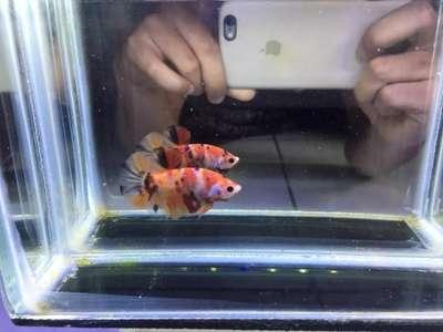 Ikan Cupang Nemo Tiger 01 Hewan Peliharaan 805970917