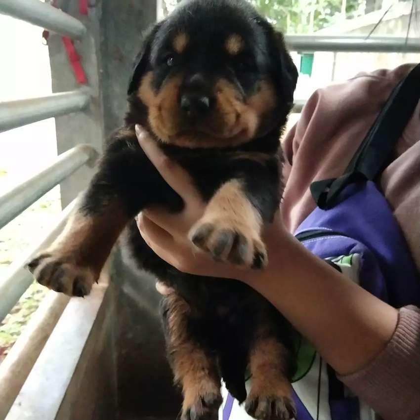 Anjing Rottweiler Non Stambum Hewan Peliharaan 810338103