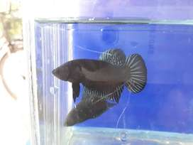 940 Gambar Ikan Cupang Black King HD Terbaru
