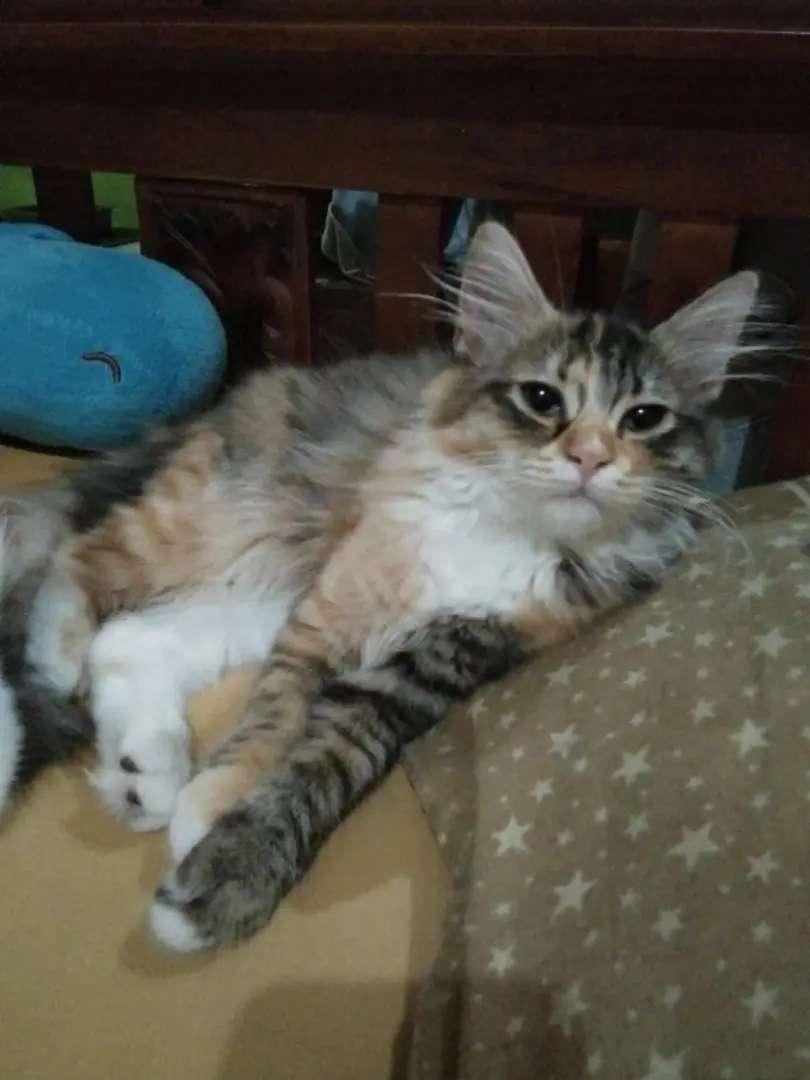 Lepas Adopsi Kucing Ras Persia Medium Betina Umur 4 Bulan Hewan