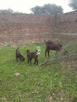 Goat with 2 male and female kids