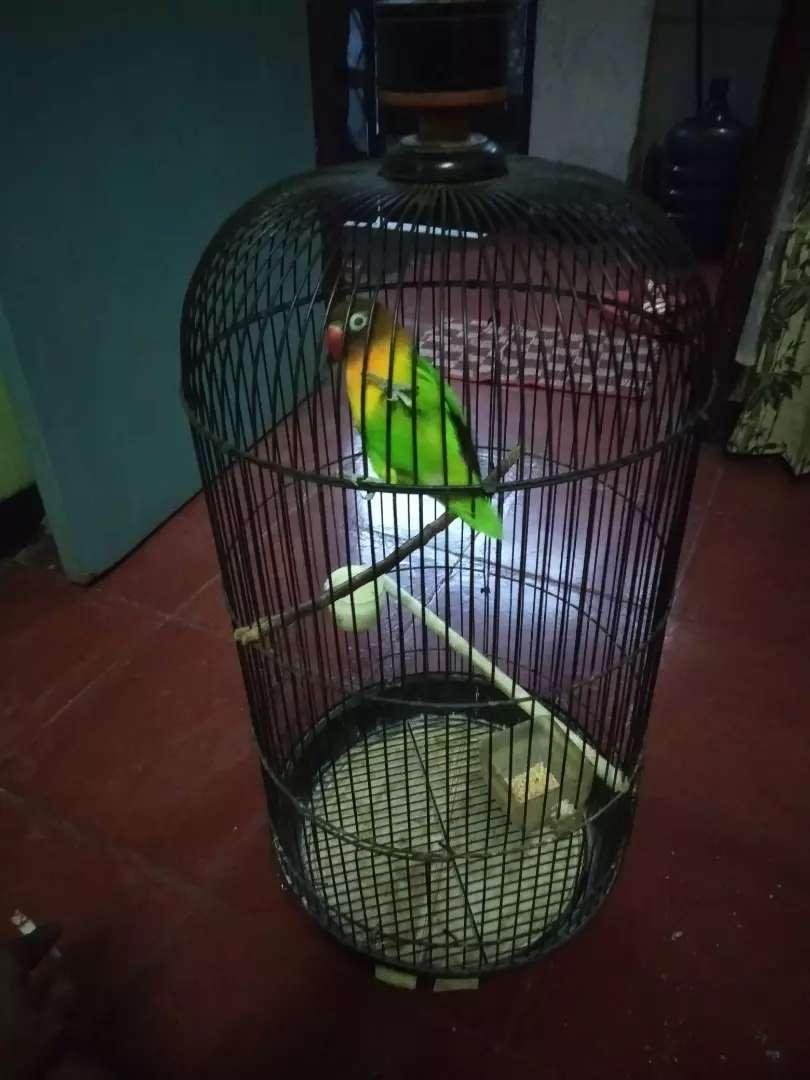 Lovebird Dakocan Hewan Peliharaan 808782769