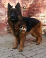 Extreem Teasing GSD Male For Long Haired Lovers imported Male F/S