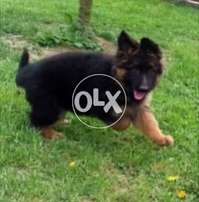 Black Mask imported Puppy ,Champion Parents F/S