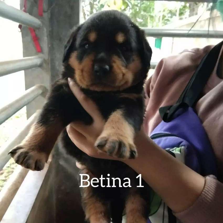 Anjing Rottweiler Hewan Peliharaan 810219014