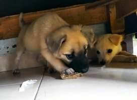 Anjing Di Medan Kota Olx Murah Dengan Harga Terbaik Olx Co Id