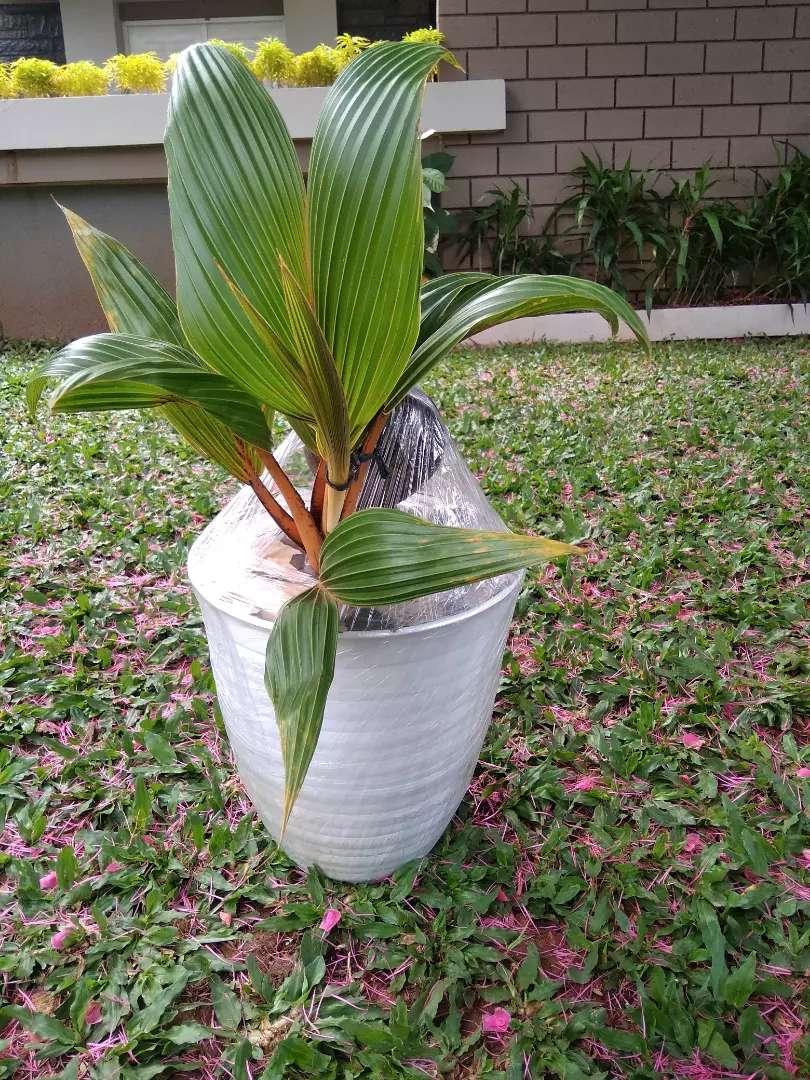 Tanaman Hias Bonsai Kelapa Pot Tawon Konstruksi Dan Taman