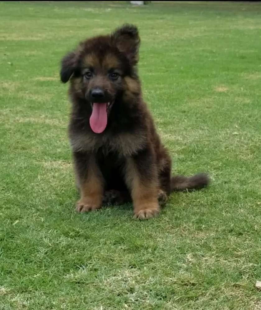 Dogs for sale in Hyderabad   OLX com pk