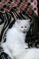 High Quality Pure Persian Kittens Cats Available