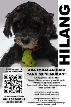 Poodle Jual Hewan Peliharaan Anjing Terlengkap Di Surabaya Kota Olx Co Id