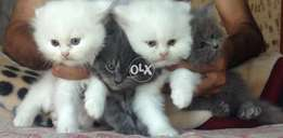 Persian snow white fur balls available
