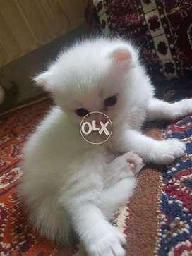 Book Animals In Punjab Olx Com Pk