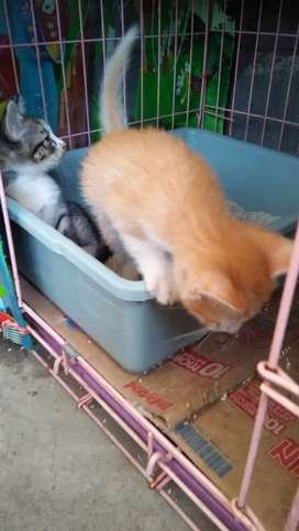 Unduh 94+  Gambar Kucing Anggora Kitten Mix Domestic Terlihat Keren