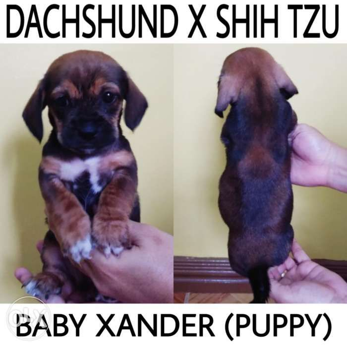 Dachshund Mixed With Shih Tzu Puppies For Sale In Kawit Cavite